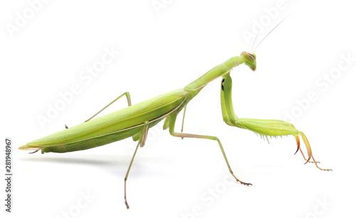 Fototapeta  European Mantis or Praying Mantis, isolated on white