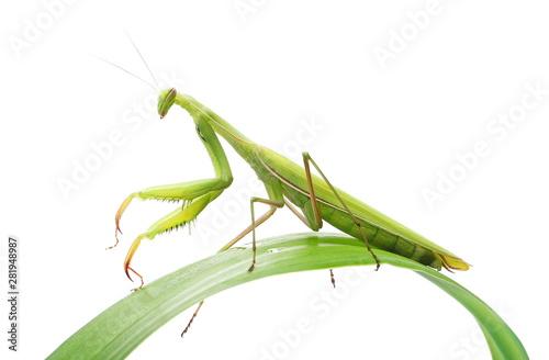Fototapeta  European Mantis or Praying Mantis on green leaf, isolated on white