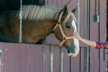 Head Chestnut Horse Is Enjoyin...