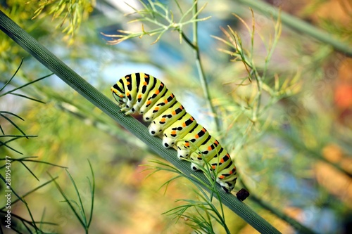 Fotomural caterpillar of a swallowtail Papilio machaon on fresh green fragrant dill Anethum graveolens in the garden