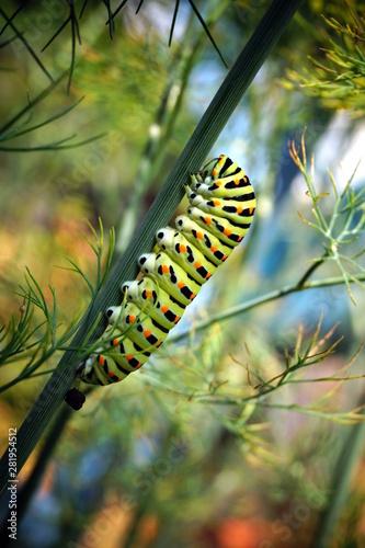 Fotografie, Obraz caterpillar of a swallowtail Papilio machaon on fresh green fragrant dill Anethum graveolens in the garden