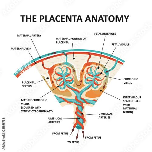 Human Fetus Placenta Anatomy Tablou Canvas