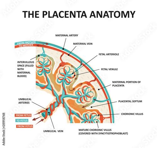 Fotografie, Obraz Human Fetus Placenta Anatomy