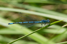 Azure Damselfly Eating On A Re...
