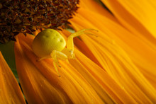 Yellow Crab Spider On The Sunf...