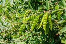 Green Gungo Pods On Tree
