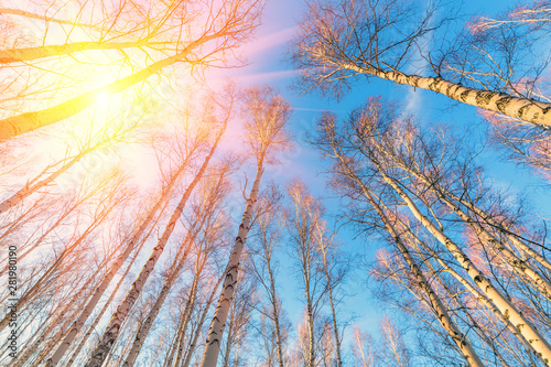 Autocollant pour porte Bosquet de bouleaux birch forest against the blue sky on a spring sunny day