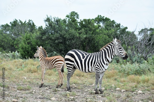 Zebra Mom and Baby in the Wild