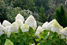 Stunning Lush Bush Of White Hy...