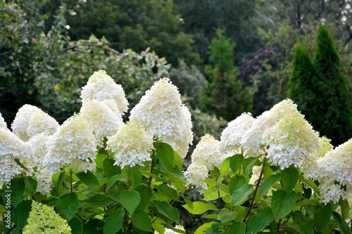 Cadres-photo bureau Hortensia Stunning lush bush of white hydrangeas on the background of the garden
