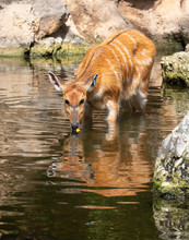 Sitatunga Or Marshbuck (Tragelaphus Spekii) A Swamp-dwelling Antelope Found In Central Africa