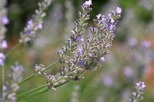 Lavender flower in sunlight - 281989903
