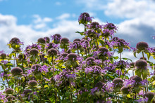 Monarda Flowers Against The Sky With Clouds - Beautiful Floral Background