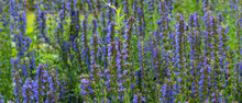 Blooming Hyssop Officinalis Close Up - Natural Remedies Concept