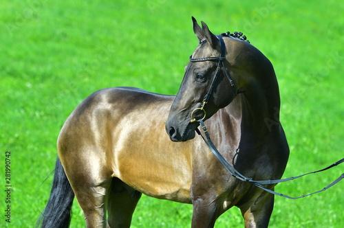 Fototapeta Portrat of buckskin akhal teke stallion in a bridle standing outside in a summer field. Equestrian sport. obraz