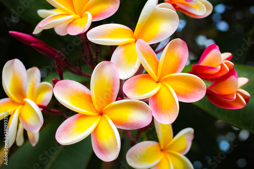 Poster Frangipani Beautiful Tropical Flowers in Hawaii