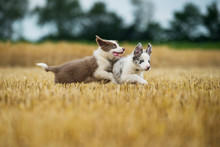 Two Border Collie Puppies Running In A Stubblefield