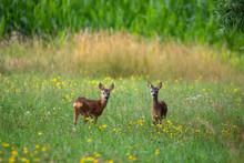 Row Deer Baby Graze On Summer Meadow, Czech Wildlife