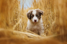 Border Collie Puppy Sitting In...
