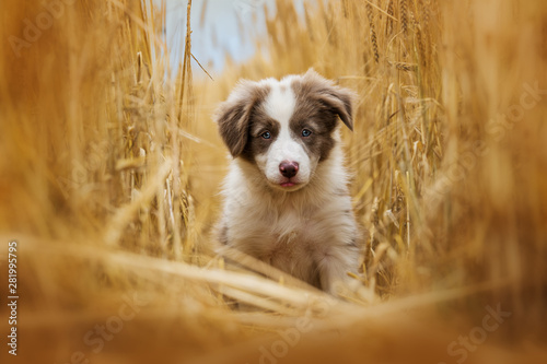 Fototapeta Border collie puppy sitting in a stubblefield obraz