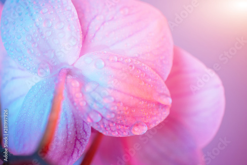 Photo sur Toile Orchidée delicate pink Orchid with dew drops close-up on light blue background