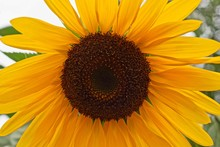 One Large Blooming Sunflower Flowe
