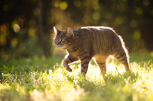 Tabby Domestic Shorthair Cat Walking On Grass Outdoors In Nature Hunting In Sunlight On A Sunny Summer Day Looking Straight Ahead