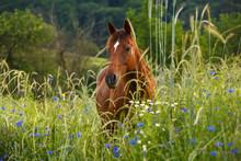 Pferd Im Kornblumenfeld