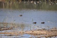 The Beautiful Bird Aythya Nyroca (Ferruginous Duck) In The Natural Environment