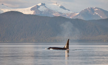 Orca Killer Whale In Alaska