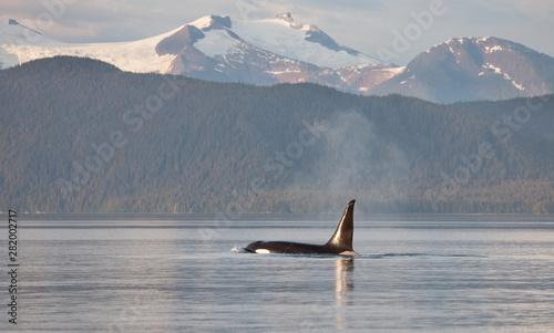 Orca Killer Whale in Alaska Canvas Print
