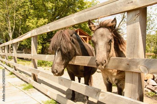 Pony, horses, artiodactyls, farm, reserve, stallions, farm, farm, wildlife, vaca Canvas Print