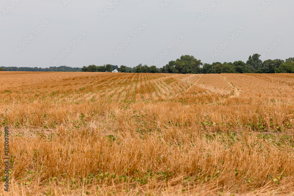 Fototapeta No-till soybeans planted in wheat field stubble cover crop. After a wet spring with flooding delayed planting, a hot, dry summer is stressing crops in areas of the Midwest