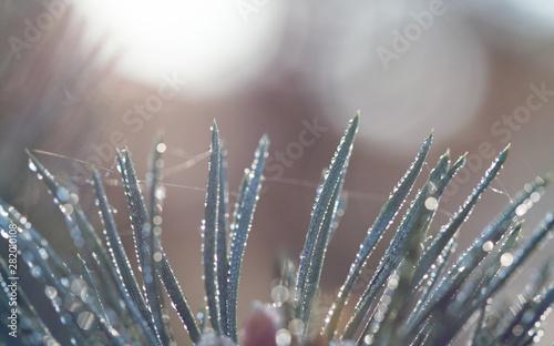Fotografia, Obraz  pine tree branch