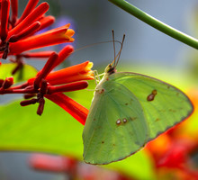 Cloudless Sulphur Butterfly Si...