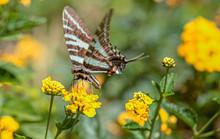 Zebra Swallowtail Butterfly On Yellow Lantana Flower, Florida