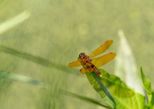 Eastern Amberwing Dragonfly On...