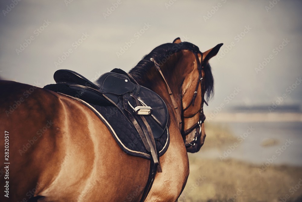Fototapety, obrazy: Saddle with stirrups on a back of a horse.