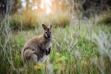 Wild Wallaby Hopping In Bushes In Tasmania, Australia.
