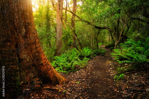 Foto op Plexiglas Chocoladebruin Beautiful path in lush tropical rainforest jungle in Tasman peninsula, Tasmania, Australia. The ancient jurassic age jungle is part of three capes track, famous bush walking of Tasmania, Australia.