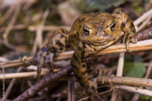 Photo toad crawling on meadow big mouth