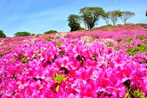 Photo Stands Pink 太田和つつじの丘 横須賀市太田和 日本
