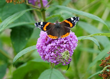 Red Admiral Butterfly (scienti...