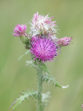 Carduus Crispus, The Curly Plumeless Thistle Or Welted Thistle, Wild Plant From Finland