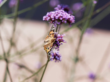 Painted Lady Butterfly | Vanessa Cardui