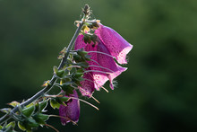 The Top Of A Foxglove With Pink Flowers Take Very Close From A Side Profile View