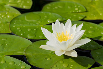 White water lily flower and green leaves in a pond after rain seen obliquely from above