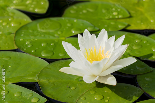 Fotografia White water lily flower and green leaves in a pond after rain seen obliquely fro