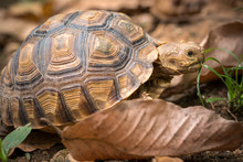 Turtle Walks On The Dry Leaves In The Forest. Concept Of Wildlife In The Tropical Forest.