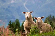 Zwei Schafe In Den Bergen, Sch...